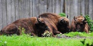 Bisontes de Bialowieza en Polonia
